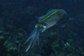 Reef Squid, Roatan Marine Park. An interesting subject!