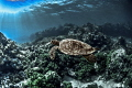 Turtle in Palau.