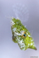 Juvenile Filefish