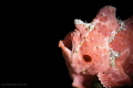 A painted frogfish caught at the tail end of its yawn