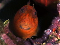 Red blenny