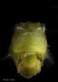Baby lumpfish