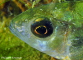 Golden eye of European perch