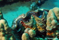 Giant clam and anemons