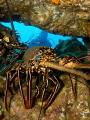 spiny lobster at Socorro