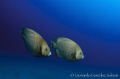 A couple of angelfish swimming in the blue...