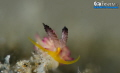 S M I L E  Beautiful Nudibranch (Favorinus pacific us) Pink, Grey & Yellow. Try hard on this 2mm flabellina!