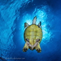 Turtle was very friendly and I waited for him to cover the sun and I knew it would make a nice light situation. Shot in Little Cayman with a Canon 7D with a Tokina 10-17 with 2 YSD-1s.