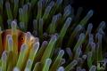 Skunk anemone fish and Sarasvati Anemone Shrimp on Anemone at Malapascua, Philippines.