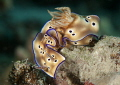 Hypselodoris tryoni