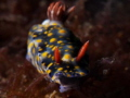Hypselodoris infucata found in Anilao.