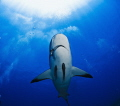 Shark in Roatan