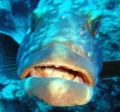 This grouper has something to say