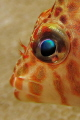 The colors of ocean in the eye of a small hawkfish