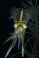 Caribbean Reef Squid consuming a Chromis Reef fish