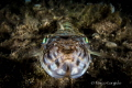 Lizardfish, night dive