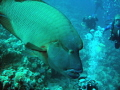 Large 1.5m Napoleon Wrasse just cruising between us and looking us over.  Didn t realise until I uploaded it also looks like its mouth is heading for my son