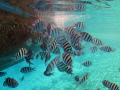 A school of sergeant major damselfish feeding from a boat s waste waters