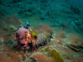 egg carrier in lembeh