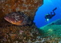 Dusky Grouper on  El Baj n   known as one of Jacques Cousteau s favorite dive site. El Hierro.