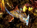 opalescent sea slug
