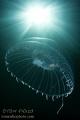 Ribbed Medusa Puget Sound, WA, U.S.A.