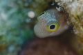 The small blenny was looking at me from its burrow while I was perching around for better composition.