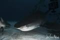 The edge of night brings the big ones in!!!! Tiger Shark at Tiger Beach - Bahamas