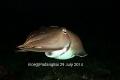 Cuttlefish @jetty padang bai