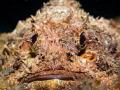 Gotta' laugh ... Raggy Scorpianfish - Scorpaenopsis venosa. Sail Rock, Thailand-EM5-Oly 12-50mm-1/250-f11-iso200-Inon D2000- -Inon UCL165