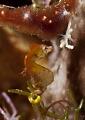 Pontohi pygmy hyppocampus Bunaken islands, Sulawesi,