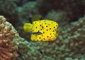Boxfish juvenile