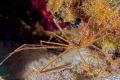 Arrow crab.