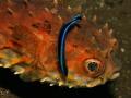 Birdbeak burrfish with a  cleaner fish