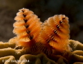 Working on macro and lighting the Christmas tree worms to make them glow.   This was taken at Sunset House Reef around 4PM, shore dive.