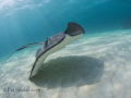 I took this at the Stingray City Deep dive site in a group of 15 people.  I was lucky in that there was enough current to blow away the worst of the silt they kicked up.