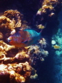 Parrotfish, Roatan Island.