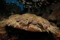 The Master of camouflage - frontal shot of a wobbegong