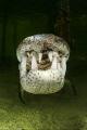 Crocodylus acutus_5