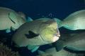 A school of bump head parrotfish..... Flynn Reef, Great Barrier Reef, Australia