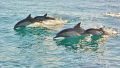 Common Dolphins off San Diego