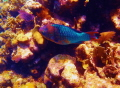 Colorful parrotfish  Roatan.