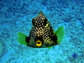 This little Trunk Fish kept following me around and posing for me.