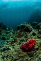 red soft coral lost in the sea