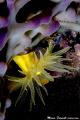 Purple and Yellow  Leptopsammia pruvoti on sponge