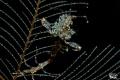 Skeletonshrimp and its breed :-D