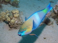 Parrotfish and cleaner wrasse