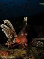 Lionfish @ the depths of Atlantis