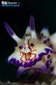 H I T C H - H I K E R Nudibranch (Mexichromis multituberculata) Emperor shrimp (Periclimenes imperator) Anilao, Philippines. May 2014