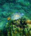 Hawaiian Triggerfish